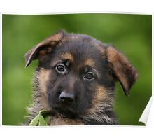 German Shepherd Puppy Close-up Poster