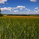 Barley near Winchester, UK by NeilAlderney