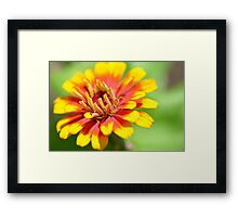 Yellow Flame Zinnia Framed Print
