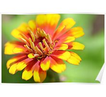 Yellow Flame Zinnia Poster