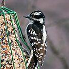 Downy Woodpecker Female by ArianaMurphy