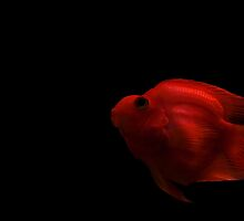 Mr Parrot Fish - Wandering away by gnanes