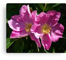 Pink Beach Rose's Canvas Print