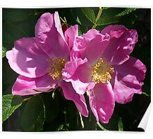 Pink Beach Rose's Poster