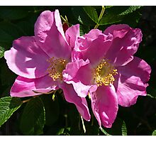Pink Beach Rose's Photographic Print