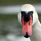 Head-on Swan by Chris Richards