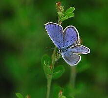little grey butterfly by davvi