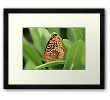Great Spangled Fritillary Butterfly Framed Print