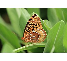 Great Spangled Fritillary Butterfly Photographic Print
