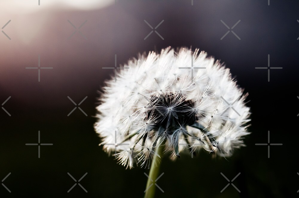 Dandelion by Areej Obeid
