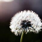 Dandelion by Areej