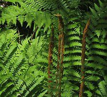 Ferns by marybedy