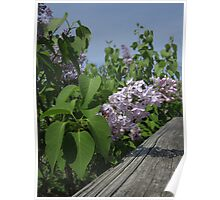 Lilac and Fence Poster