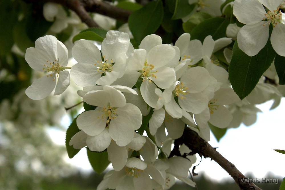 White Blossoms. by Valerie Henry
