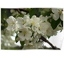 White Blossoms. Poster