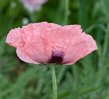 Beautiful pink poppy by ImageItFoto
