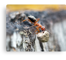 How Much Weight Can an Ant Carry? Canvas Print