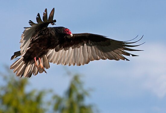 Vulture Descent by Martin Smart