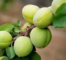 Apricots - Iran by mojgan