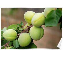 Apricots - Iran Poster