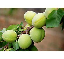 Apricots - Iran Photographic Print
