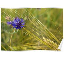 Cornflower in a barley field Poster