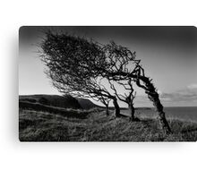 Windblown trees Canvas Print