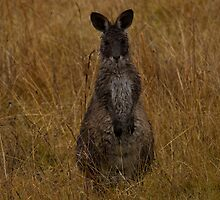 Wallaby at Boonoo Boonoo NP by Steve Bass