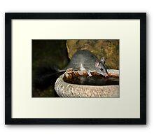 Brush-tailed Phascogale (Tuan) Framed Print