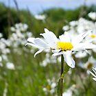 Ox-eye Daisy (Leucanthemum vulgare) by lmaiphotography