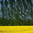 Spring Gold Fields by Paul Moore
