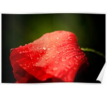 Poppy after rain Poster