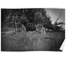 Lioness watching her cubs Poster