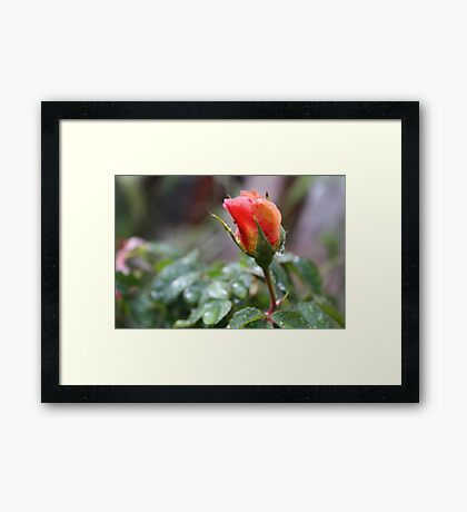 RAIN DROP'S ON PEACH ROSE  Framed Print