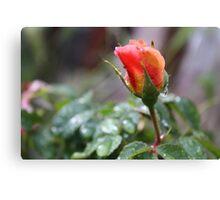RAIN DROP'S ON PEACH ROSE  Canvas Print