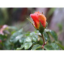 RAIN DROP'S ON PEACH ROSE  Photographic Print