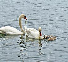 Mute Swans - Cygnus olor by MotherNature