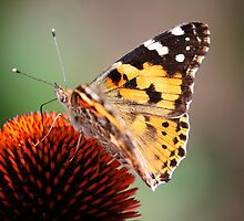 Portrait of a Butterfly by ChePhotography