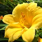 Day Lily by debbiedoda