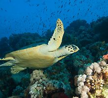 Sea turtle on reef by Fiona Ayerst