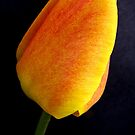 Tulip Bud by hummingbirds