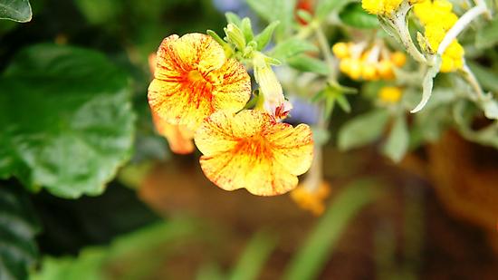 Orange Flower by Jessica Liatys