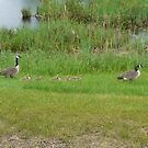 A Family of Canada Geese by MaeBelle