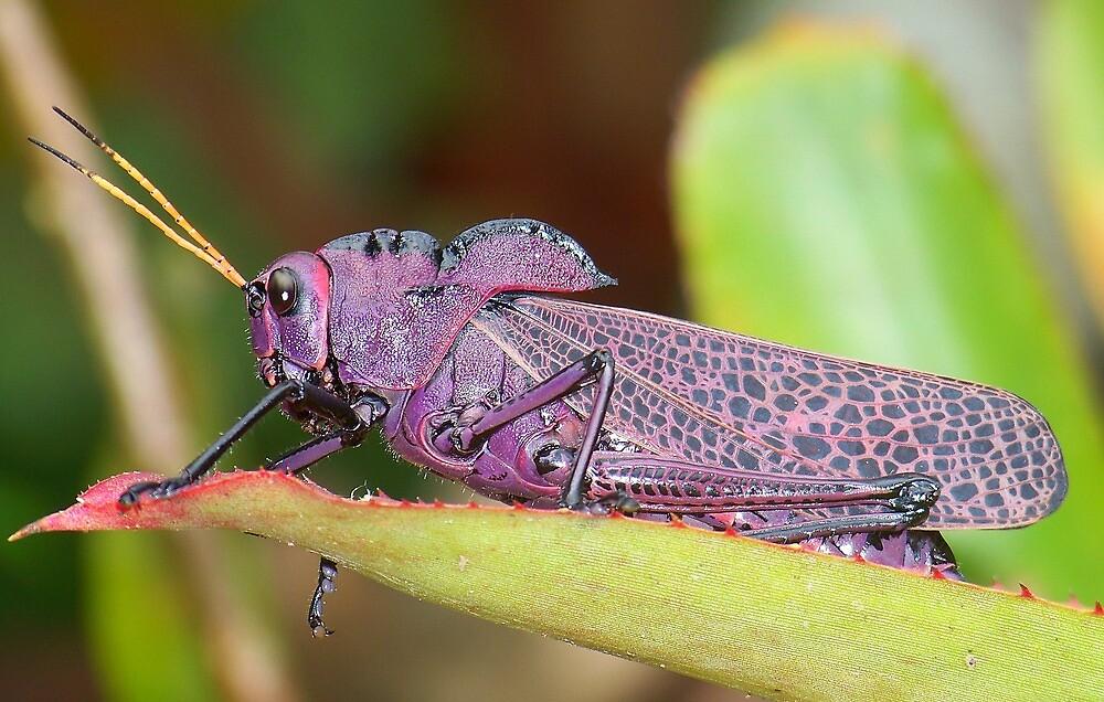 Wise Old Grasshopper - Costa Rica by Michelle Hamilton