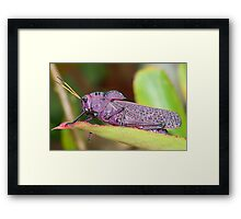 Wise Old Grasshopper - Costa Rica Framed Print