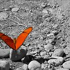 Orange Butterfly waiting for a Taxi by Michelle Hamilton