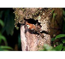 Russet Sparrow or Eurasian Wood Sparrow? Photographic Print