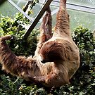 Linne's Two-Toed Sloth by Magic-Moments