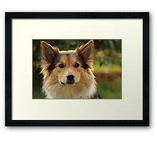 Amy - Icelandic Sheepdog Framed Print