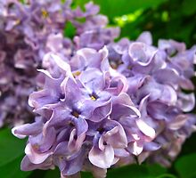 Lilac offering by MarianBendeth